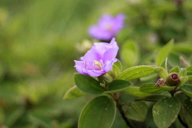 Với đầy sim, mua. Đến Quan Lạn vào mùa hè, bạn sẽ được đi qua những con đường xanh thẳm lá, tím ngắt hoa của loài cây này.