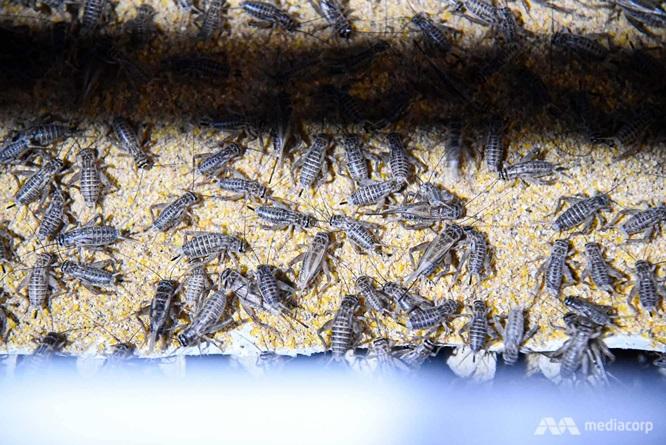 Các trang trại nuôi côn trùng có rất nhiều tại Thái Lan. Ảnh CNA